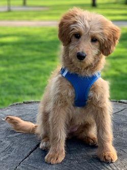 USA Dog Adoption Notice Board
