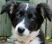 Bill's Collie pup