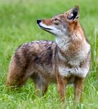 coyote156.jpg