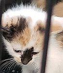 kittenwhitetan1rrs.jpg